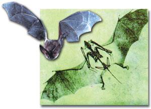 Fossils_bat