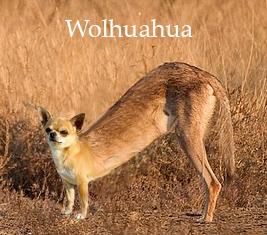 Wolhuahua